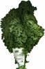 Col rizada Kale - Producto